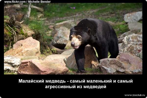 Малайский медведь - самый маленький и самый агрессивный из медведей