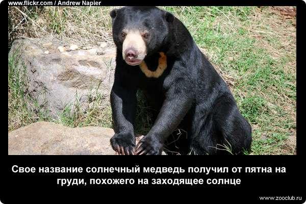 Свое название солнечный медведь получил от пятна на груди, похожего на заходящее солнце