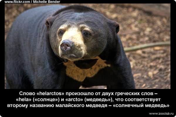 Слово helarctos произошло от двух греческих слов – hela (солнце) и arcto (медведь), что соответствует второму названию малайского медведя – солнечный медведь