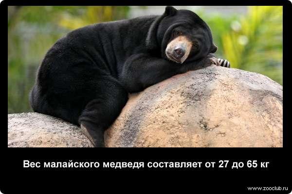 Вес малайского медведя составляет от 27 до 65 кг