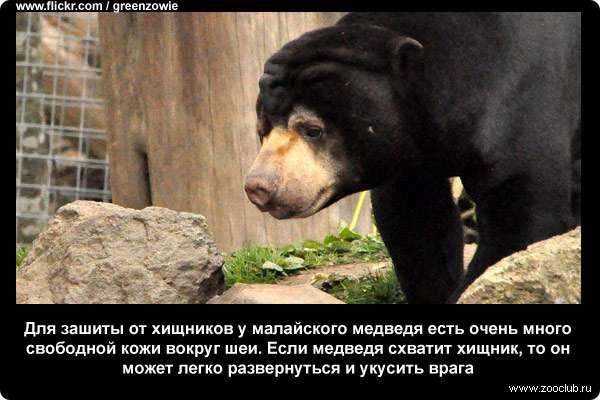 Для зашиты от хищников у малайского медведя есть очень много свободной кожи вокруг шеи. Если медведя схватит хищник, то он может легко развернуться и укусить врага