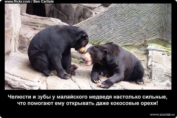 Челюсти и зубы у малайского медведя настолько сильные, что помогают ему открывать даже кокосовые орехи