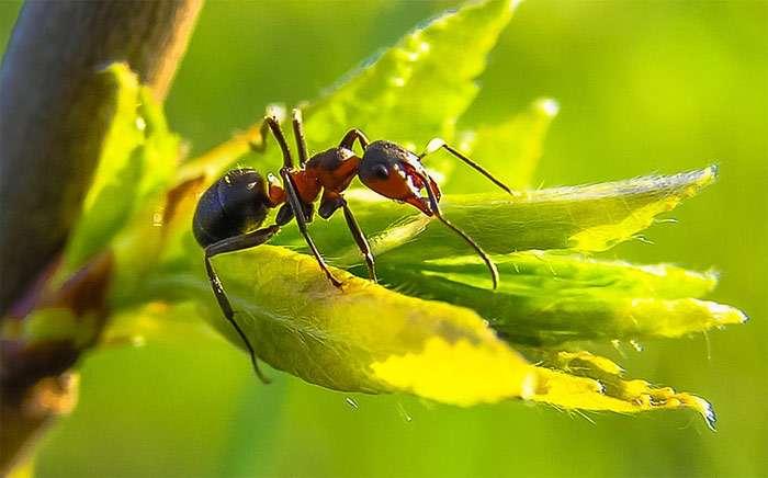 Когда муравьев травят химикатами, они всегда падают на правый бок
