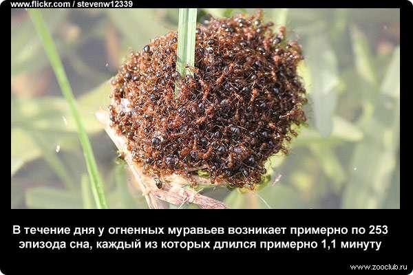 В течение дня у огненных муравьев возникает примерно по 253 эпизода сна, каждый из которых длился примерно 1,1 минуту
