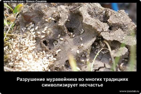 Разрушение муравейника во многих традициях символизирует несчастье