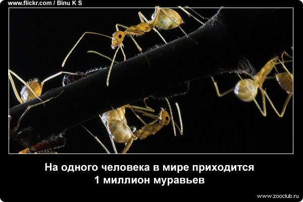 На одного человека в мире приходится 1 миллион муравьев