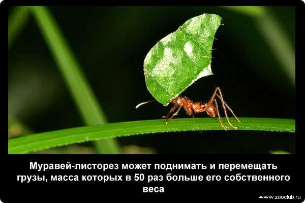 Муравей-листорез может поднимать и перемещать грузы, масса которых в 50 раз больше его собственного веса