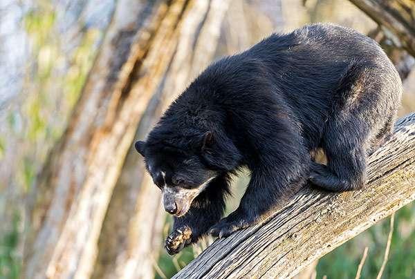 Очковый медведь (Tremarctos ornatus), фото фотография хищные звери