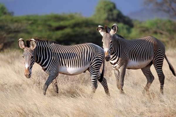 Зебры, фото фотография лошадиные