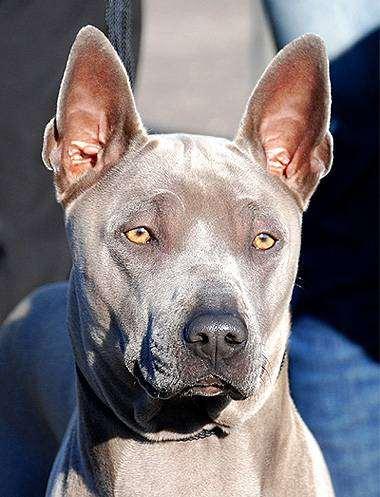 Тайский риджбек, фото фотография собаки породы собак