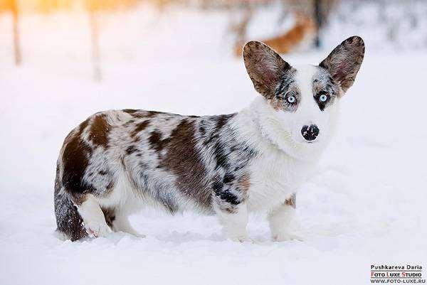 Вельш-корги-кардиган, фото породы собак фотография