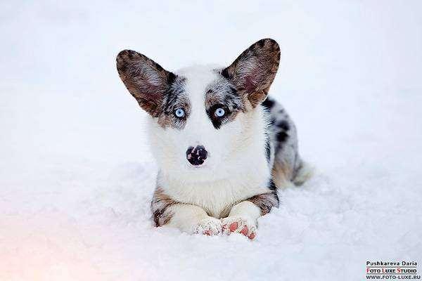 Вельш-корги-кардиган, фото выбор породы собаки фотография