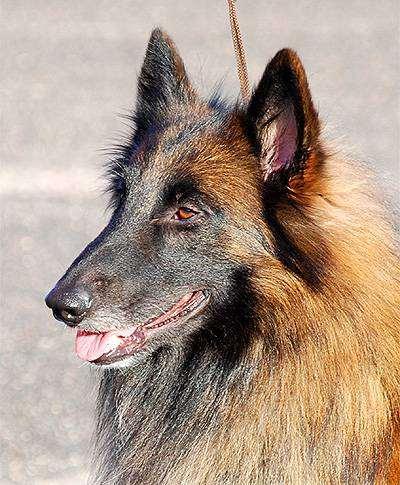 Тервюрен, фото собаки фотография породы собак