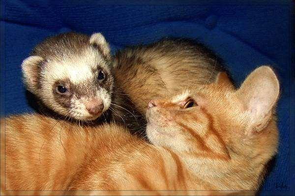 Хорек и кошка, фото консультации по хорькам фотография