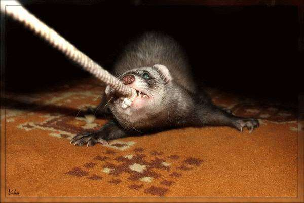 Хорек тянет веревку, фото вопросы о хорьках фотография