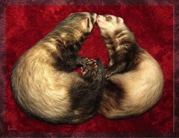 Спящие хорьки, фото ответы о хорьках фотография