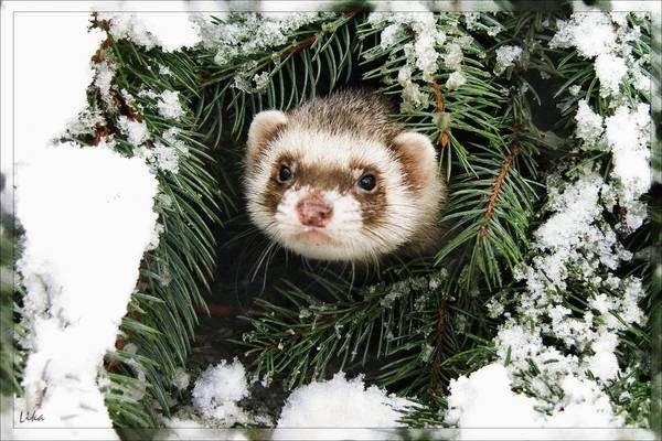 Хорек на снегу, фото содержание уход хорьки фотография