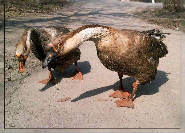 Домашние гуси, фото содержание гусей фотография