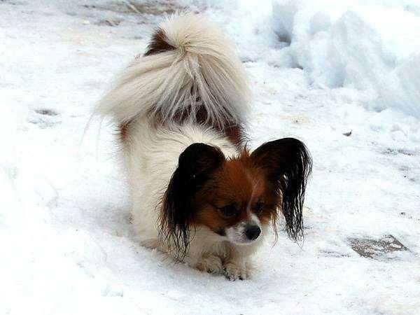 Папильон, папийон, фото породы собак фотография