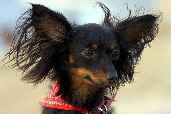 Русский той-терьер, фото породы собак фотография