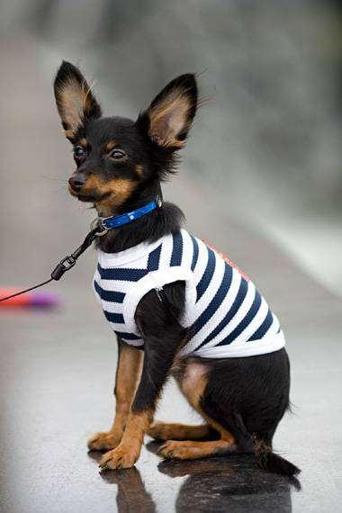 Русский той-терьер, фото породы собак изображение