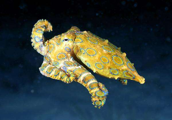 Осьминог, фото беспозвоночные животные фотография