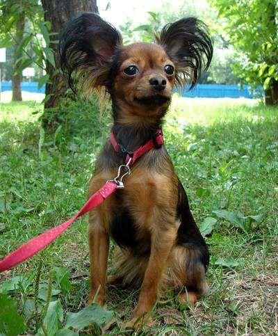 Длинношерстный той-терьер, фото собаки породы собак фотография
