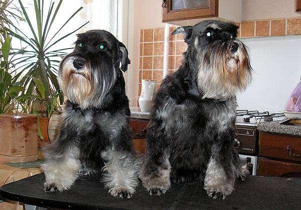 Цвергшнауцер, фото собаки породы собак фотография