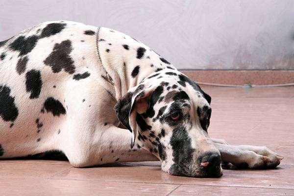 Немецкий дог, фото вопросы о собаках фотография