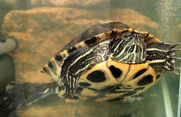 почему моя черепаха корябает дерево