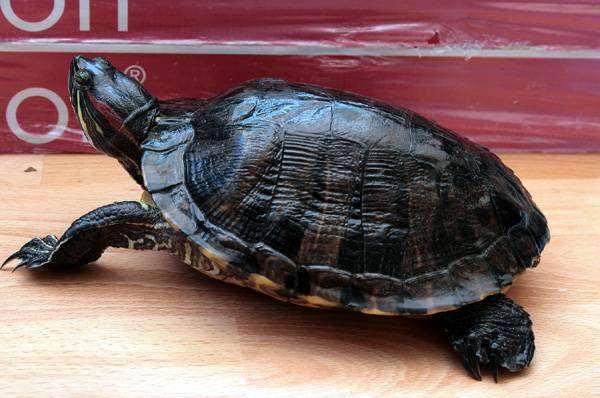 Красноухая черепаха (Chrysemys scripta), фото вопросы о черепахах фотография