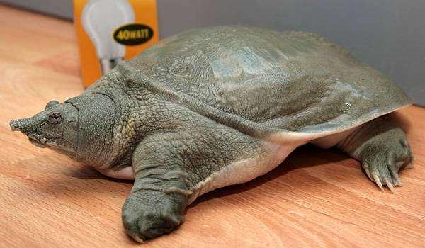 Китайский трионикс (Trionyx sinensis), фото вопросы о черепахах фотография