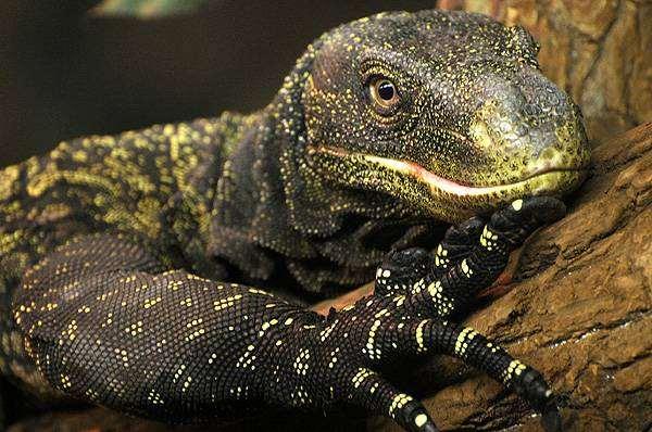 Крокодиловый варан, варан Сальвадора (Varanus salvadorii), фото рептилии ящерицы фотография