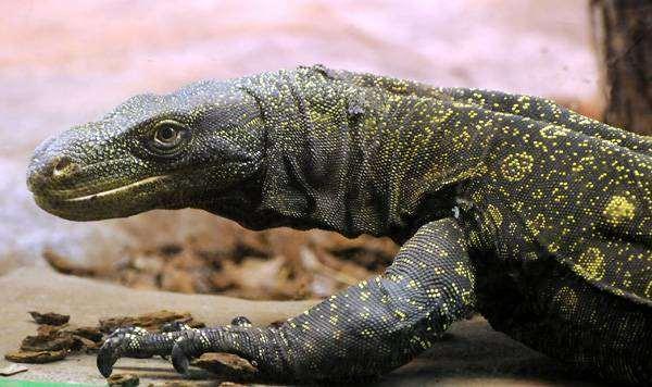 Крокодиловый варан (Varanus salvadorii), фото рептилии изображение
