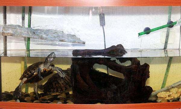 Красноухие черепахи (Chrysemys scripta), фото содержание рептилий фотография