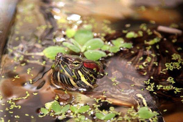 Красноухая черепаха (Chrysemys scripta), фото рептилии болезни черепах фотография