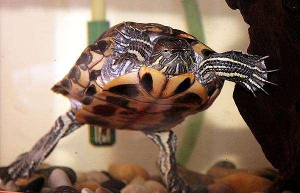 Красноухая черепаха chrysemys scripta фото