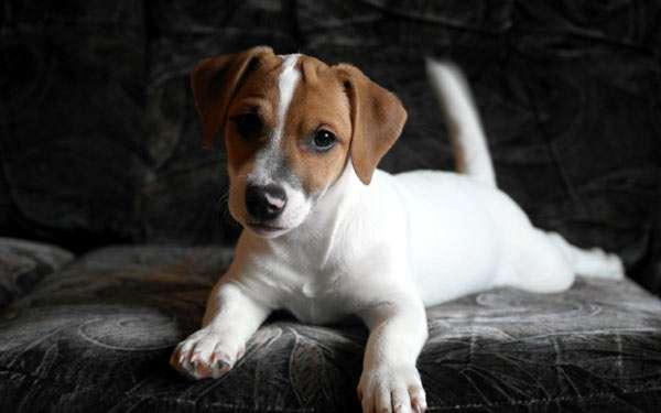Щенок джек-рассел-терьера, фото фотография породы собак