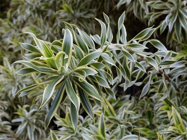 Драцена отогнутая (Dracaena reflexa), фото фотография растения