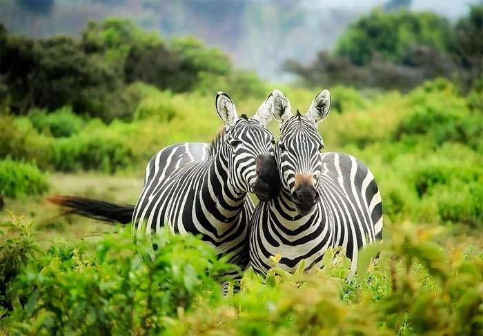 Зебры – белые с черными полосками, а никак не наоборот