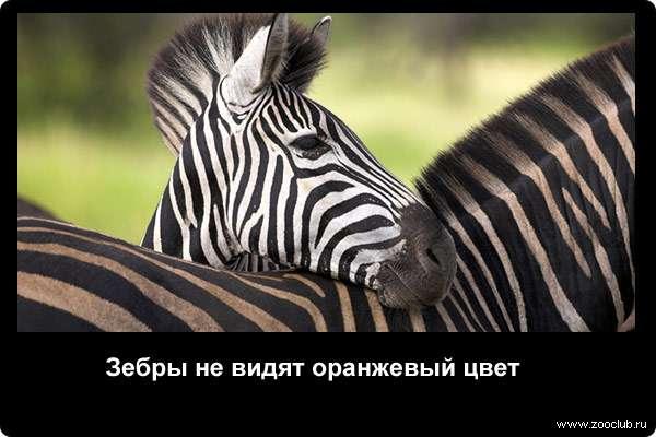 Зебры не видят оранжевого цвета