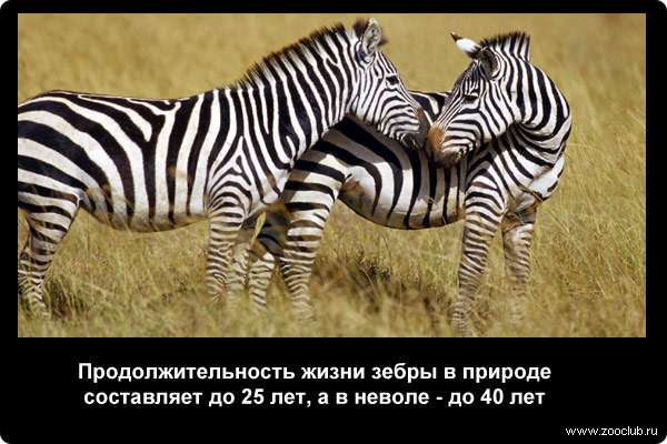 Продолжительность жизни зебры в природе составляет до 25 лет, а в неволе - до 40 лет