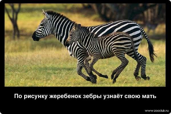 По рисунку жеребенок зебры узнаёт свою мать