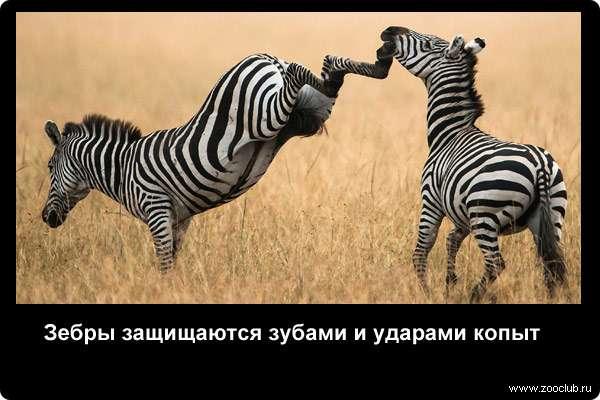 Зебры защищаются зубами и ударами копыт