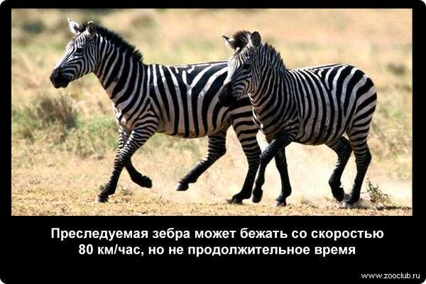 Преследуемая зебра может бежать со скоростью 80 км/час, но не продолжительное время