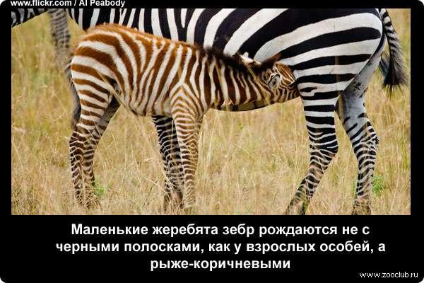 Маленькие жеребята зебр рождаются не с черными полосками, как у взрослых особей, а рыже-коричневыми