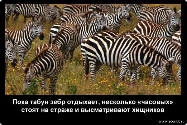 Пока табун зебр отдыхает, несколько часовых стоят на страже и высматривают хищников
