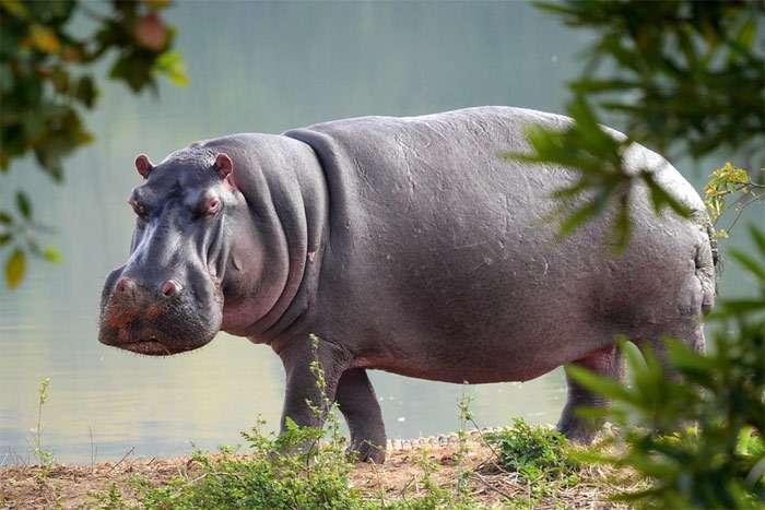 Бегемоты рождаются под водой