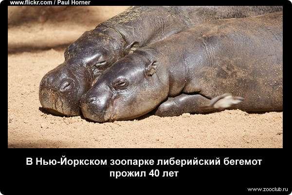 В Нью-Йоркском зоопарке либерийский бегемот прожил 40 лет