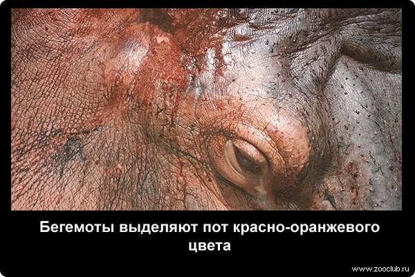 Бегемоты выделяют пот красно-оранжевого цвета